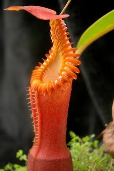 I don& think I& ever seen such exotic flowers!- Acho que nunca vi flores tão exóticas! Celebrate the Beauty of These Exotic Flowers! Strange Flowers, Unusual Flowers, Unusual Plants, Rare Flowers, Rare Plants, Exotic Plants, Cool Plants, Amazing Flowers, Pitcher Plant