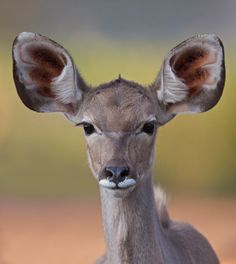 I'm all ears by Francois Retief - Kudu Antelope Big And Beautiful, Beautiful Eyes, Animals Beautiful, Cute Animals, Model Girl Photo, Asian Model Girl, Save Mother Earth, Beauty Tips For Girls, Wildlife Paintings