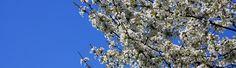 La Primavera: i Ciliegi in fiore