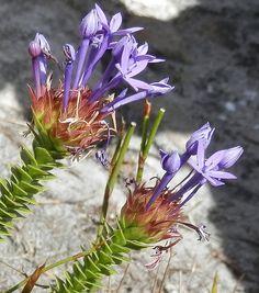 Rhigiophyllum squarrosum | Flickr - Photo Sharing!