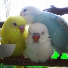 parakeet love ^_^