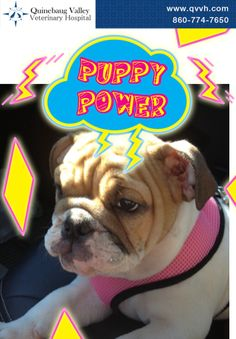 Puppy Power! #petpostcard #bulldog #puppy Download the QVVH Vet App to make your own!