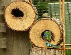 Lazuli Bunting   da boisebluebird