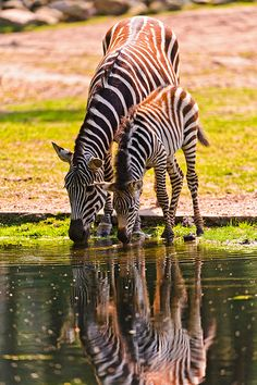 Mother and foal zebras drinking