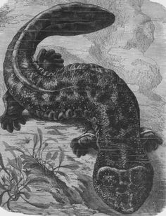 All those years of Uncle Archie's Bigfoot stories and I never heard of this; >> The mysterious giant salamanders of Northern California