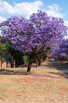 Add the vibrant purple blooms of the Jacaranda tree for a colorful garden. #Landscaping