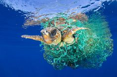 Caretta Caretta Trapped _ Nature - First Prize, Singles A sea turtle entangled in a fishing net swims off the coast of Tenerife, Canary Islands, Spain. _ © Francis Pérez World Press Photo Tenerife, Best Nature Images, Nature Photos, Ocean Pollution, Plastic Pollution, World Photography, Wildlife Photography, Photography Awards, World Press Photo