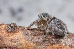 The scientific names of Sparklemuffin and Skeletorus are Maratus jactatus (female pictured...