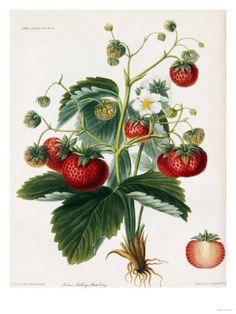 Botanikillustration - Planscher på AllPosters.se