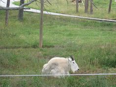 Mountain goat - Bear Country USA - Rapid City, South Dakota.