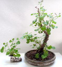 Scented leaved Pelargonium x fragrans