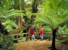 Maits Rest Rainforest Walk on the Great Ocean Road Day Tour - Go West Melbourne Day Tours Australia