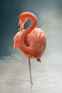 Fotografia Flamingo de Michaela Pucher na Flamingo Painting, Flamingo Art, Pink Flamingos, Beautiful Birds, Animals Beautiful, Animals And Pets, Cute Animals, Flamingo Pictures, Flamingo Photo