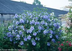 Vertical Rose Gardening Blue Chiffon™ - Rose of Sharon - Hibiscus syriacus Garden Care, Diy Garden, Garden Shrubs, Landscaping Plants, Outdoor Landscaping, Mixed Border, Early Spring Flowers, Blue Hibiscus, Hibiscus Plant