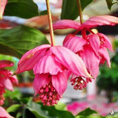 medinilla flowers