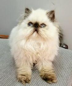 قطط للبيع في أبو ظبي قطة هيمالايا للبيع أنثى عمرها شهرين ونص شوكلت لعوبة عيونها زرقاء ومتدربة على الأكل والشراب وع الليتر بوكس In 2020 Cats Animals