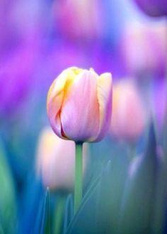 Tulip in lavender