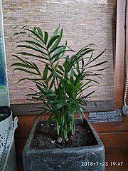 Chamedora Wytworna Wikipedia Wolna Encyklopedia Plants Wikipedia