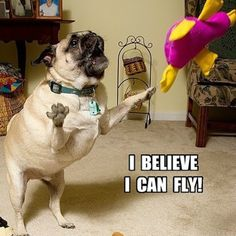 Pug believes s/he can fly