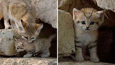 El gato de las arenas mantiene el aspecto de gatito durante toda su vida, dando la impresión de que no crecen nunca