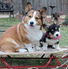 Mini and Cooper #corgi