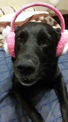 La mascota de DeMusculos.com con sus auriculares rosas... el es Felipe, pero como los perros ven en color blanco y negro... no le importa el color rosa! www.demusculos.com megatienda deportiva!