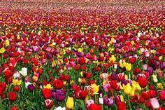 Tulpen-Tipp