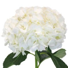 Hydrangea Ivory White Flower is thequintessential garden wedding bloom. Fresh cut just for you, these hydrangea have big bushy blooms that will look incredibly accenting a baby shower, engagement party or classic wedding. Large fluffy blooms are easy to arrange and will incredible no matter...