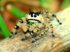 Jumping spider - Araneae Salticidae | Flickr - Photo Sharing!