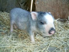 Mini <b>Pigs</b>- <b>Teacup Pigs</b> For Sale in Floresville, Texas - Hoobly . Floresville Texas, Teacup Pigs, B & B, Tea Cups, Mini, Animals, Animales, Animaux, Animal
