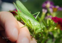 Tettigonia viridissima - Tettigonia viridissima sitting on hand Name Boards, Names, Stuffed Peppers, Stuffed Pepper, Stuffed Sweet Peppers