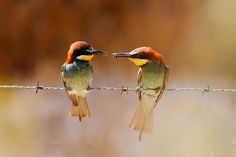 Bee-eater - The lie of the gift. It is not love, is reproduction.