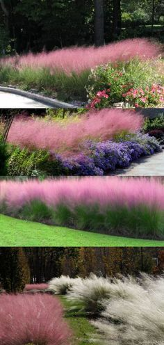 Muhly Grass 'Pink' (Muhlenbergia Capillaris) - Zone 6-9 Full Sun 3' Height/Width. Clump-forming grass known for its pink-purple (avail in white also) colored inflorescence that float above the plant in an airy & eye-catching display from September to December. Heat, humidity, deer, & drought resistant (once established) in well-drained soil (hates wet feet). Space 2' apart & cut back in early spring to remove any brown blades. Propagate by division of clumps every 3
