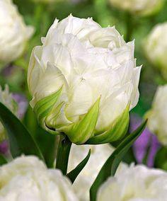 Tulip 'Ice Age'