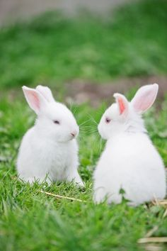 I got baby bunnies for easter when I was little. Did you know what they say about bunnies multiplying is true? White Bunnies, Cute Baby Bunnies, White Rabbits, Cute Babies, Baby Animals, Funny Animals, Cute Animals, Hamsters, Somebunny Loves You