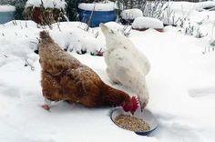 Une alimentation enrichie pour les aider à lutter contre le froid