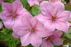 Clematis 'Summerdream'. Soft pink with delicate bars of deeper pink on flowers that appear all summer and into early fall. Blooms begin cup-shaped then open fully, showing purple anthers on cream filaments. Compact vine is good in the garden or a container.    Size: 5'-6' tall. Bloom time: Late spring to early fall. Plant zones: 4-9.   PRUNE GROUP 2