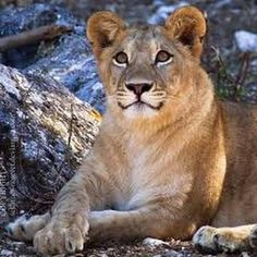 """llbwwb: """" The Smiling Lioness by *sekhmet-neseret . Kittens Cutest, Cats And Kittens, Cute Cats, Animals And Pets, Cute Animals, Wild Animals, Animals Are Beautiful People, Majestic Animals, Big Cat Family"""