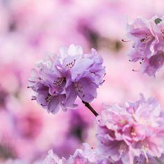 #flowers #flower  #beautiful #pretty #plants #blossom #spring #flowerstagram #flowersofinstagram  #flowerslovers #botanical #floral #florals #instablooms #bloom #blooms #floweroftheday #azalea  #ig_flowers #superb_flowers #insta_pick_blossoms #bomdever_flower #bns_flowers #ip_blossoms #myheartinshots #lovely_flowergarden #bns_flowers #ip_blossoms