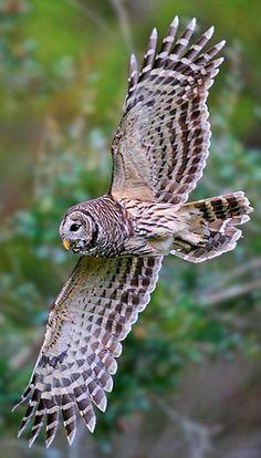 Strix varia flying.