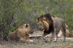 Two lions in Kruger