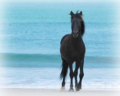 """""""Colonial Spanish""""..    Once considered the most popular breed in the world, the Colonial Spanish is a great horse for any situation. However, they can be a challenge to train, though when trained young they become extremely loyal."""