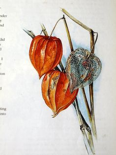 "Botanical Illustrations by Siriol Sherlock, ISBN 071348862 (why can't APA/MLA be just the isbn? ""orz) in watercolour lightbox it please. Illustration Blume, Watercolor Illustration, Botanical Drawings, Botanical Prints, Watercolor Flowers, Watercolor Art, Chinese Lanterns Plant, Lantern Tattoo, Fruit Painting"