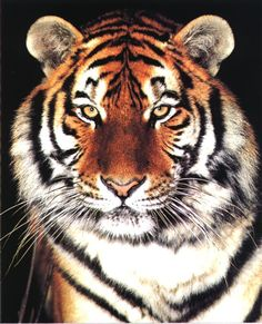 An extreme closeup view of a hansome and noble tiger's face.