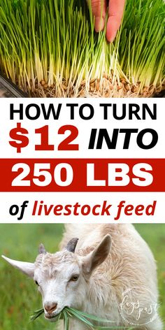 Save money by feeding your livestock using a DIY fodder system. Turn barley seeds into lush green vegetation for your chickens, goats, sheep, and cows! Raising Farm Animals, Raising Goats, Raising Chickens, Feeding Goats, Raising Cattle, Backyard Farming, Chickens Backyard, Pollo Animal, Fodder System