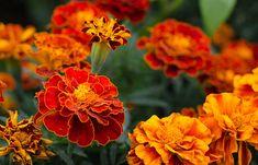 8 växter som håller myggor borta i sommar | Året Runt