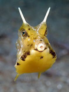 a Cow fish.this is my favorite saltwater fish! He just makes me smile:) I think he is whistling a catchy tune. Vida Animal, Mundo Animal, Saltwater Tank, Saltwater Aquarium, Underwater Creatures, Ocean Creatures, Cow Fish, Fauna Marina, Beneath The Sea