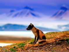 Fox and Mountains Photo, Norway Wallpaper - National Geographic Photo of the Day National Geographic Wallpaper, National Geographic Animals, National Geographic Photos, Tier Wallpaper, Animal Wallpaper, Norway Wallpaper, Nature Wallpaper, Svalbard Norway, Friendly Fox