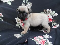 listing pug puppies is published on Free Classifieds USA online Ads - http://free-classifieds-usa.com/for-sale/animals/pug-puppies_i28407