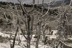 Yellowstone #yellowstone #nationalpark #treesburnt #scorched #trees http://hikersbay.com/go/usa